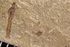 http://mczbase.mcz.harvard.edu/specimen_images/entomology/paleo/large/PALE-38222_Arthropoda.jpg