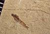 http://mczbase.mcz.harvard.edu/specimen_images/entomology/paleo/large/PALE-38253_Arthropoda.jpg