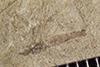 http://mczbase.mcz.harvard.edu/specimen_images/entomology/paleo/large/PALE-38275_Arthropoda.jpg
