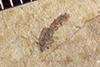 http://mczbase.mcz.harvard.edu/specimen_images/entomology/paleo/large/PALE-38276_Arthropoda.jpg