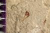 http://mczbase.mcz.harvard.edu/specimen_images/entomology/paleo/large/PALE-38392_Arthropoda.jpg