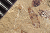 http://mczbase.mcz.harvard.edu/specimen_images/entomology/paleo/large/PALE-38559_Arthropoda.jpg