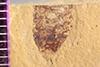 http://mczbase.mcz.harvard.edu/specimen_images/entomology/paleo/large/PALE-38645_Arthropoda.jpg