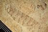 http://mczbase.mcz.harvard.edu/specimen_images/entomology/paleo/large/PALE-38707_Arthropoda.jpg