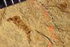 http://mczbase.mcz.harvard.edu/specimen_images/entomology/paleo/large/PALE-38739a_Arthropoda.jpg