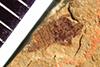 http://mczbase.mcz.harvard.edu/specimen_images/entomology/paleo/large/PALE-38742_Arthropoda.jpg