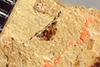 http://mczbase.mcz.harvard.edu/specimen_images/entomology/paleo/large/PALE-38756_Arthropoda.jpg
