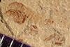 http://mczbase.mcz.harvard.edu/specimen_images/entomology/paleo/large/PALE-38825_Arthropoda.jpg