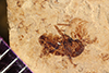 http://mczbase.mcz.harvard.edu/specimen_images/entomology/paleo/large/PALE-38833_Arthropoda.jpg