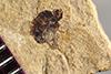 http://mczbase.mcz.harvard.edu/specimen_images/entomology/paleo/large/PALE-38837_Arthropoda.jpg