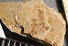 http://mczbase.mcz.harvard.edu/specimen_images/entomology/paleo/large/PALE-38841_Arthropoda.jpg