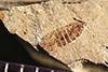 http://mczbase.mcz.harvard.edu/specimen_images/entomology/paleo/large/PALE-38844_Arthropoda.jpg