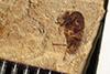 http://mczbase.mcz.harvard.edu/specimen_images/entomology/paleo/large/PALE-38914_Arthropoda.jpg