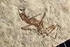 http://mczbase.mcz.harvard.edu/specimen_images/entomology/paleo/large/PALE-38943b_Arthropoda.jpg