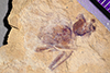 http://mczbase.mcz.harvard.edu/specimen_images/entomology/paleo/large/PALE-38957_Arthropoda.jpg