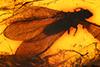 http://mczbase.mcz.harvard.edu/specimen_images/entomology/paleo/large/PALE-3896_Termes_affinis_holotype_dorsal_2.jpg
