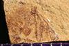 http://mczbase.mcz.harvard.edu/specimen_images/entomology/paleo/large/PALE-38978_Arthropoda.jpg