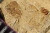 http://mczbase.mcz.harvard.edu/specimen_images/entomology/paleo/large/PALE-38994_Arthropoda.jpg