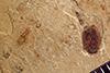 http://mczbase.mcz.harvard.edu/specimen_images/entomology/paleo/large/PALE-39040_Arthropoda.jpg