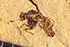 http://mczbase.mcz.harvard.edu/specimen_images/entomology/paleo/large/PALE-39043_Arthropoda.jpg