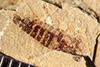 http://mczbase.mcz.harvard.edu/specimen_images/entomology/paleo/large/PALE-39049_Arthropoda.jpg