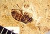 http://mczbase.mcz.harvard.edu/specimen_images/entomology/paleo/large/PALE-39053_Arthropoda.jpg