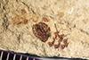 http://mczbase.mcz.harvard.edu/specimen_images/entomology/paleo/large/PALE-39058_Arthropoda.jpg