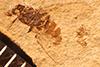 http://mczbase.mcz.harvard.edu/specimen_images/entomology/paleo/large/PALE-3905_Heteromyiella_miocenica_holotype.jpg