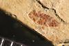 http://mczbase.mcz.harvard.edu/specimen_images/entomology/paleo/large/PALE-39070_Arthropoda.jpg