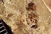 http://mczbase.mcz.harvard.edu/specimen_images/entomology/paleo/large/PALE-39085_Arthropoda.jpg