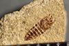 http://mczbase.mcz.harvard.edu/specimen_images/entomology/paleo/large/PALE-39100_Arthropoda.jpg