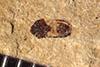 http://mczbase.mcz.harvard.edu/specimen_images/entomology/paleo/large/PALE-39113_Arthropoda.jpg