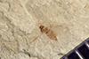 http://mczbase.mcz.harvard.edu/specimen_images/entomology/paleo/large/PALE-39146_Arthropoda.jpg