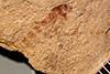 http://mczbase.mcz.harvard.edu/specimen_images/entomology/paleo/large/PALE-3914_Geron_platysoma_holotype.jpg