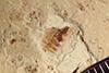 http://mczbase.mcz.harvard.edu/specimen_images/entomology/paleo/large/PALE-39178_Arthropoda.jpg