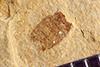 http://mczbase.mcz.harvard.edu/specimen_images/entomology/paleo/large/PALE-39207_Arthropoda.jpg