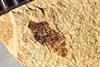 http://mczbase.mcz.harvard.edu/specimen_images/entomology/paleo/large/PALE-39223b_Arthropoda.jpg