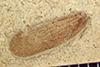 http://mczbase.mcz.harvard.edu/specimen_images/entomology/paleo/large/PALE-39233_Arthropoda.jpg