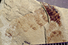http://mczbase.mcz.harvard.edu/specimen_images/entomology/paleo/large/PALE-39250_Arthropoda.jpg