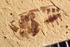 http://mczbase.mcz.harvard.edu/specimen_images/entomology/paleo/large/PALE-39258_Arthropoda.jpg