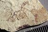 http://mczbase.mcz.harvard.edu/specimen_images/entomology/paleo/large/PALE-39264_Arthropoda.jpg