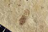http://mczbase.mcz.harvard.edu/specimen_images/entomology/paleo/large/PALE-39273_Arthropoda.jpg