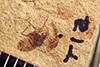 http://mczbase.mcz.harvard.edu/specimen_images/entomology/paleo/large/PALE-39383_Arthropoda.jpg