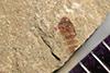http://mczbase.mcz.harvard.edu/specimen_images/entomology/paleo/large/PALE-39452_Arthropoda.jpg