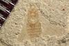 http://mczbase.mcz.harvard.edu/specimen_images/entomology/paleo/large/PALE-39524_Arthropoda.jpg