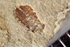 http://mczbase.mcz.harvard.edu/specimen_images/entomology/paleo/large/PALE-39548_Arthropoda.jpg