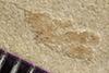 http://mczbase.mcz.harvard.edu/specimen_images/entomology/paleo/large/PALE-39555_Arthropoda.jpg