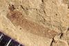 http://mczbase.mcz.harvard.edu/specimen_images/entomology/paleo/large/PALE-39579_Arthropoda.jpg