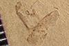 http://mczbase.mcz.harvard.edu/specimen_images/entomology/paleo/large/PALE-39664_Arthropoda.jpg