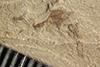 http://mczbase.mcz.harvard.edu/specimen_images/entomology/paleo/large/PALE-39674_Arthropoda.jpg